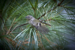 Golden Crowned Kinglet-1