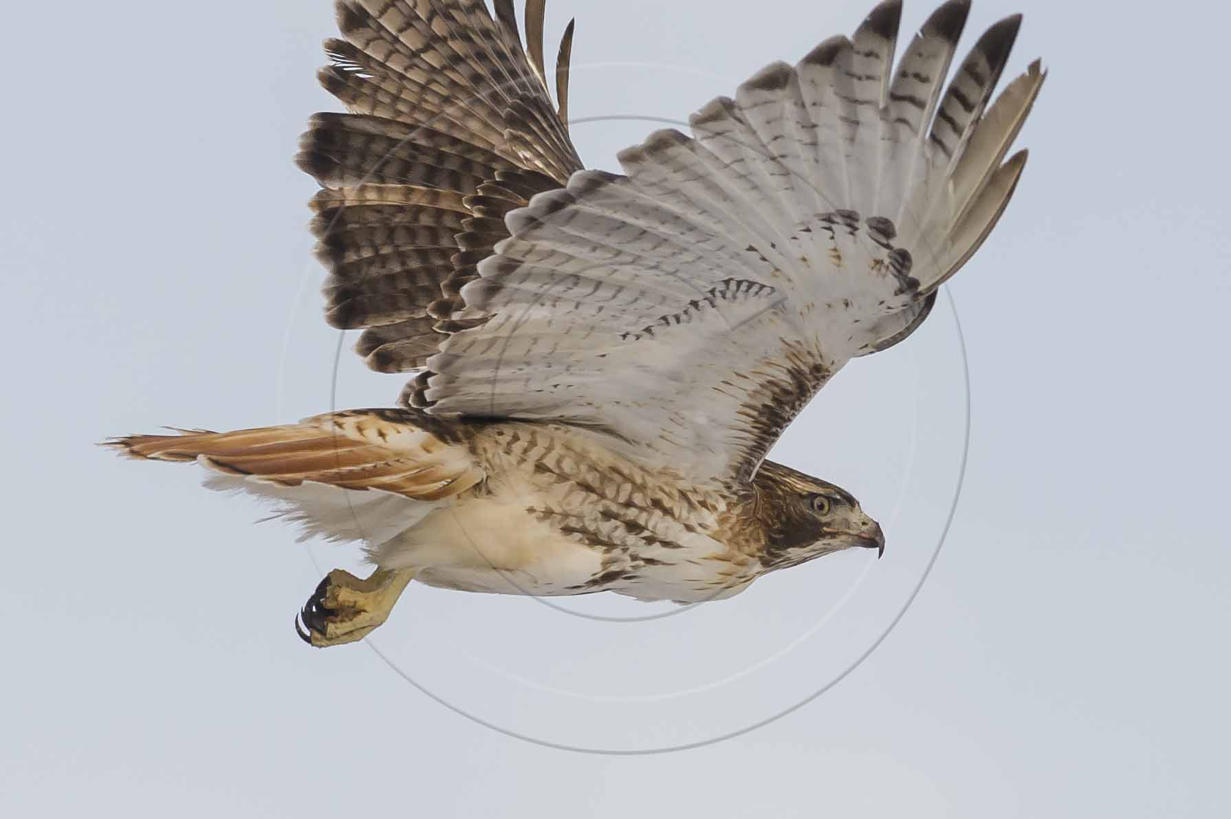 Red-tailed Hawk-1
