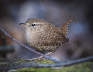 Winter Wren-1