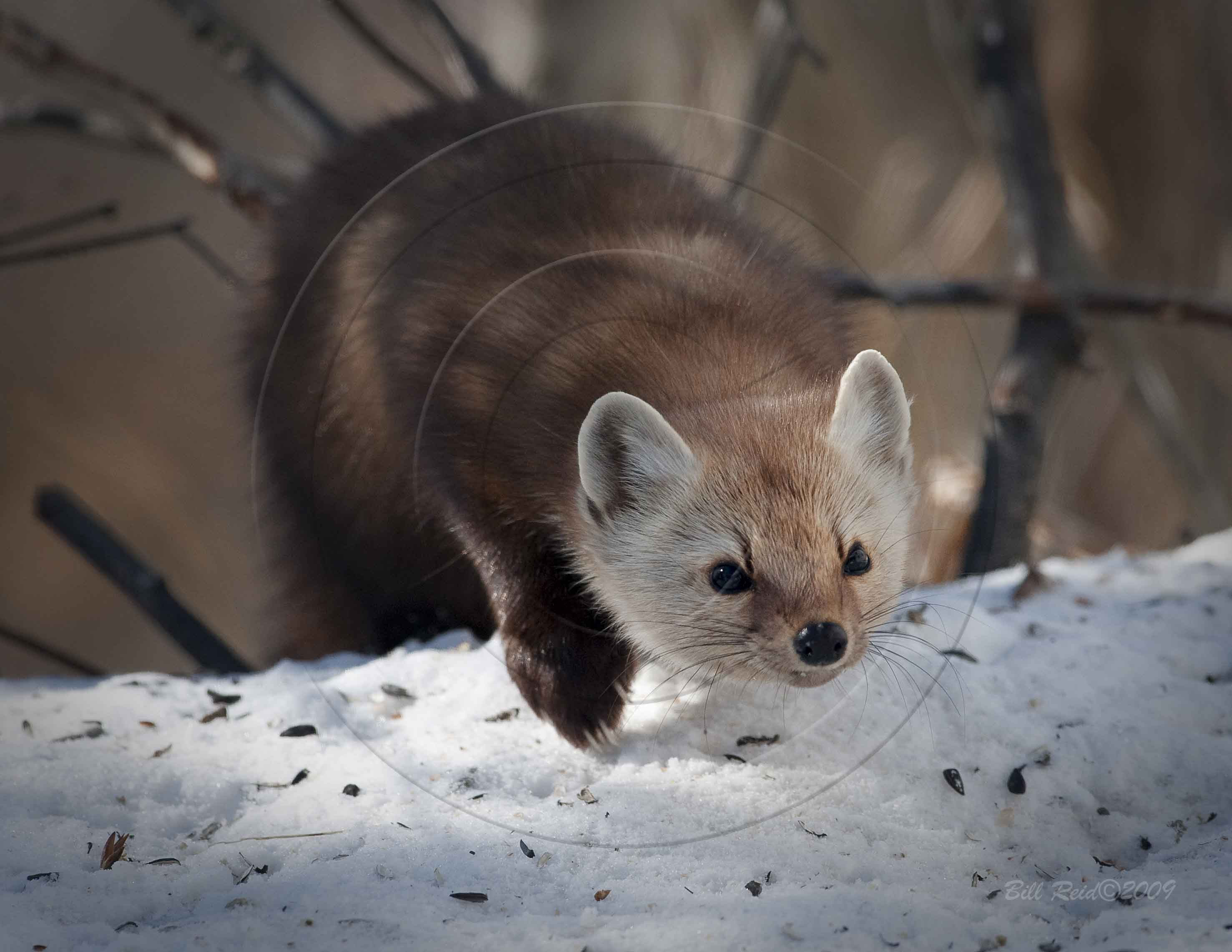 Pictures of a pine marten M A Creative Community for Fans, Photos and Fun