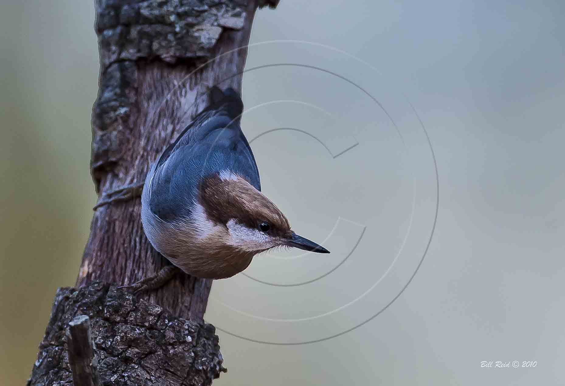 Brown-headedd Nuthatch-1