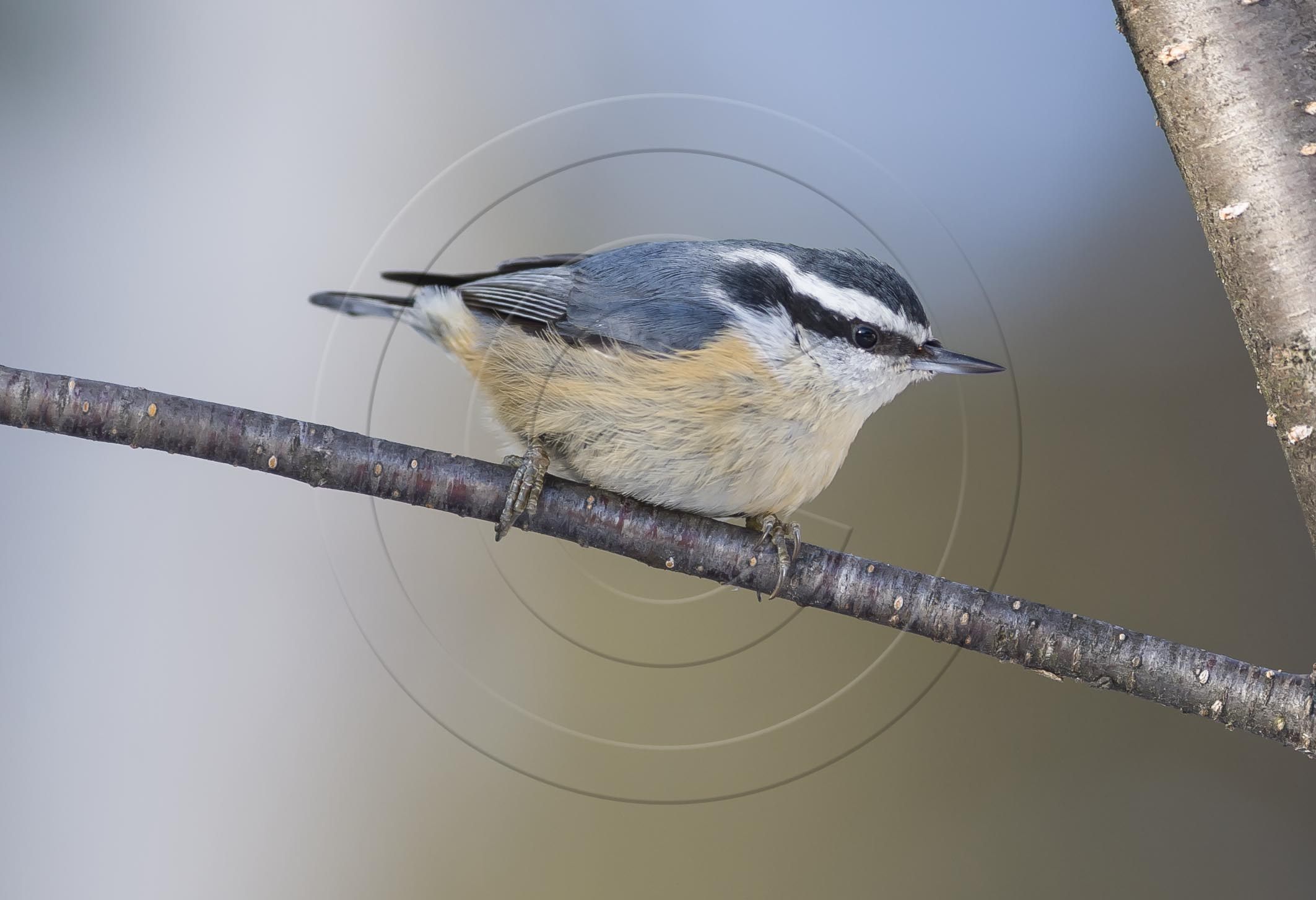 Red-breasted Nuthatch-1