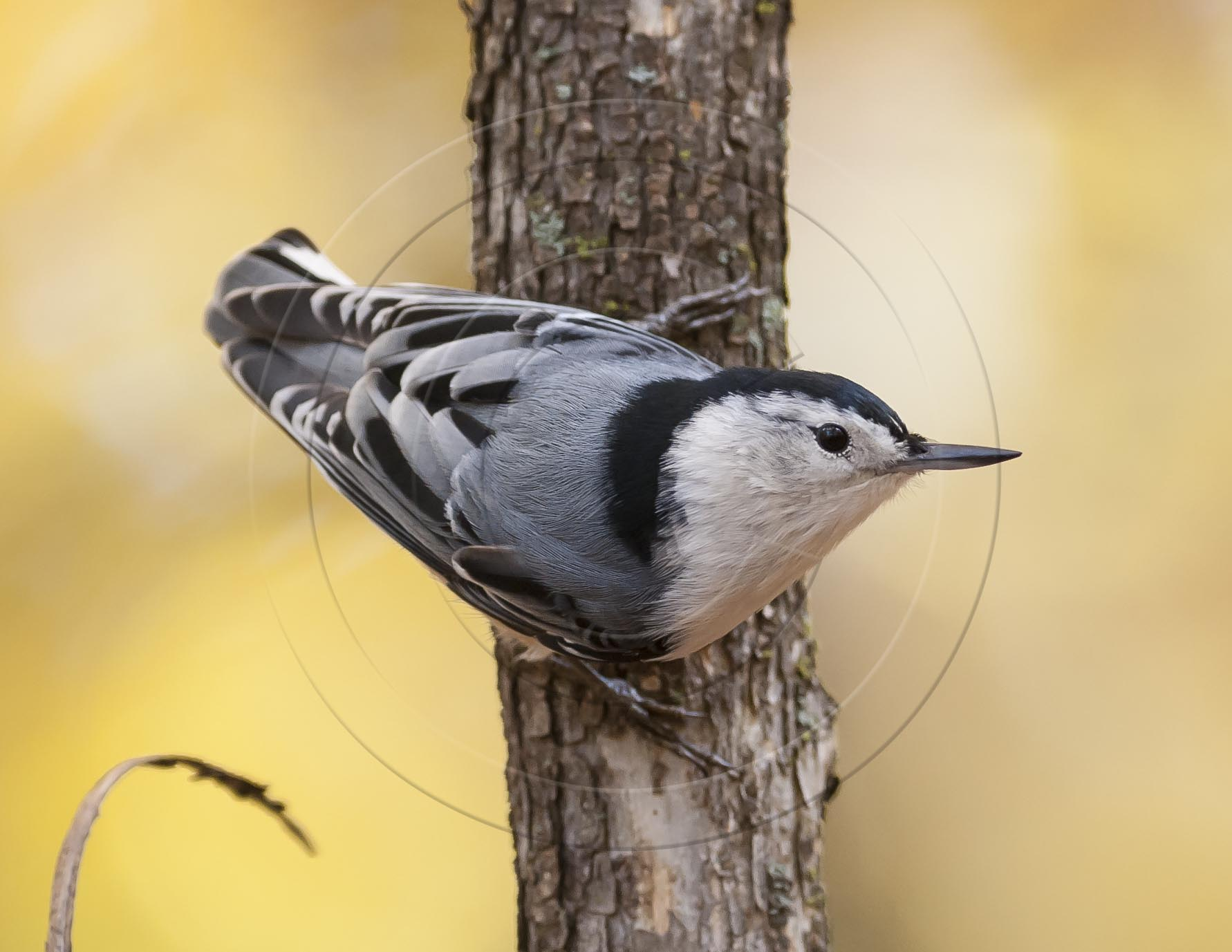 White-breasted Nuthatch-1