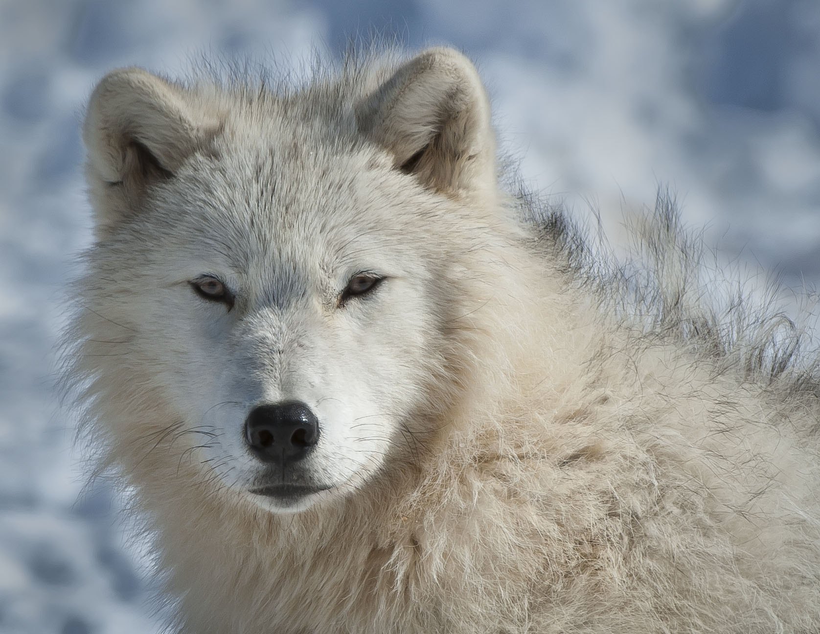 related pictures arctic wolves - photo #15