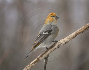 PINE GROSBEAK-1