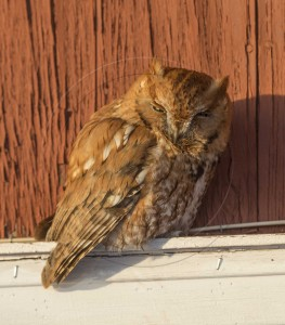 Red Phase Screech Owl-1-2