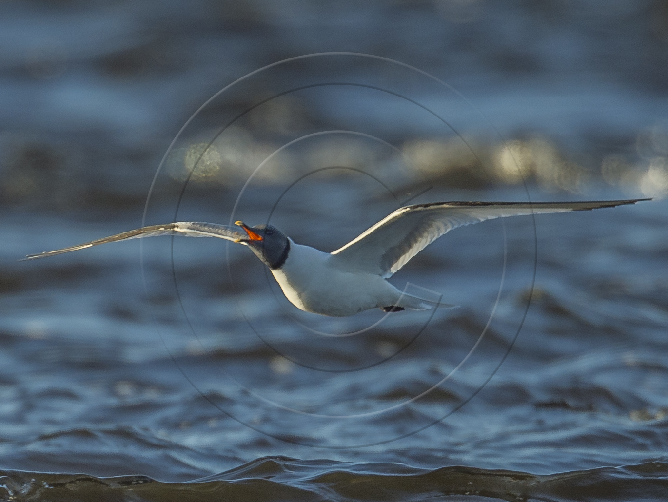 SABINE'S GULL & INSECT-1