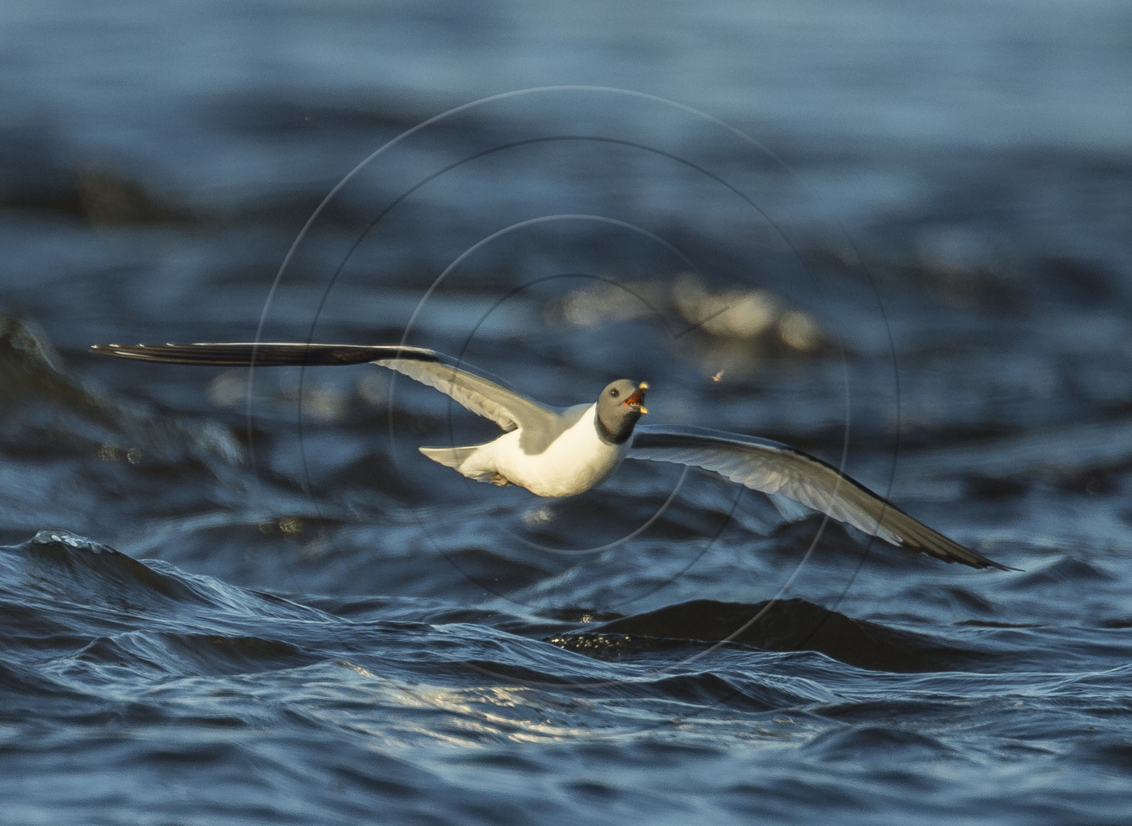 SABINE'S GULL & INSECT2-1