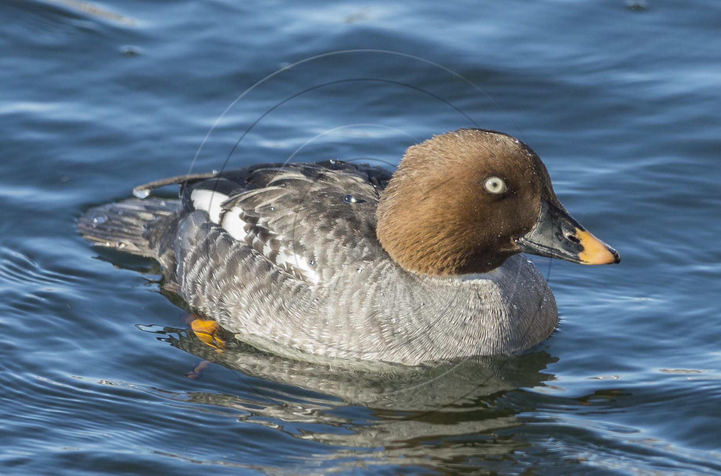 Female Goldeneye-1