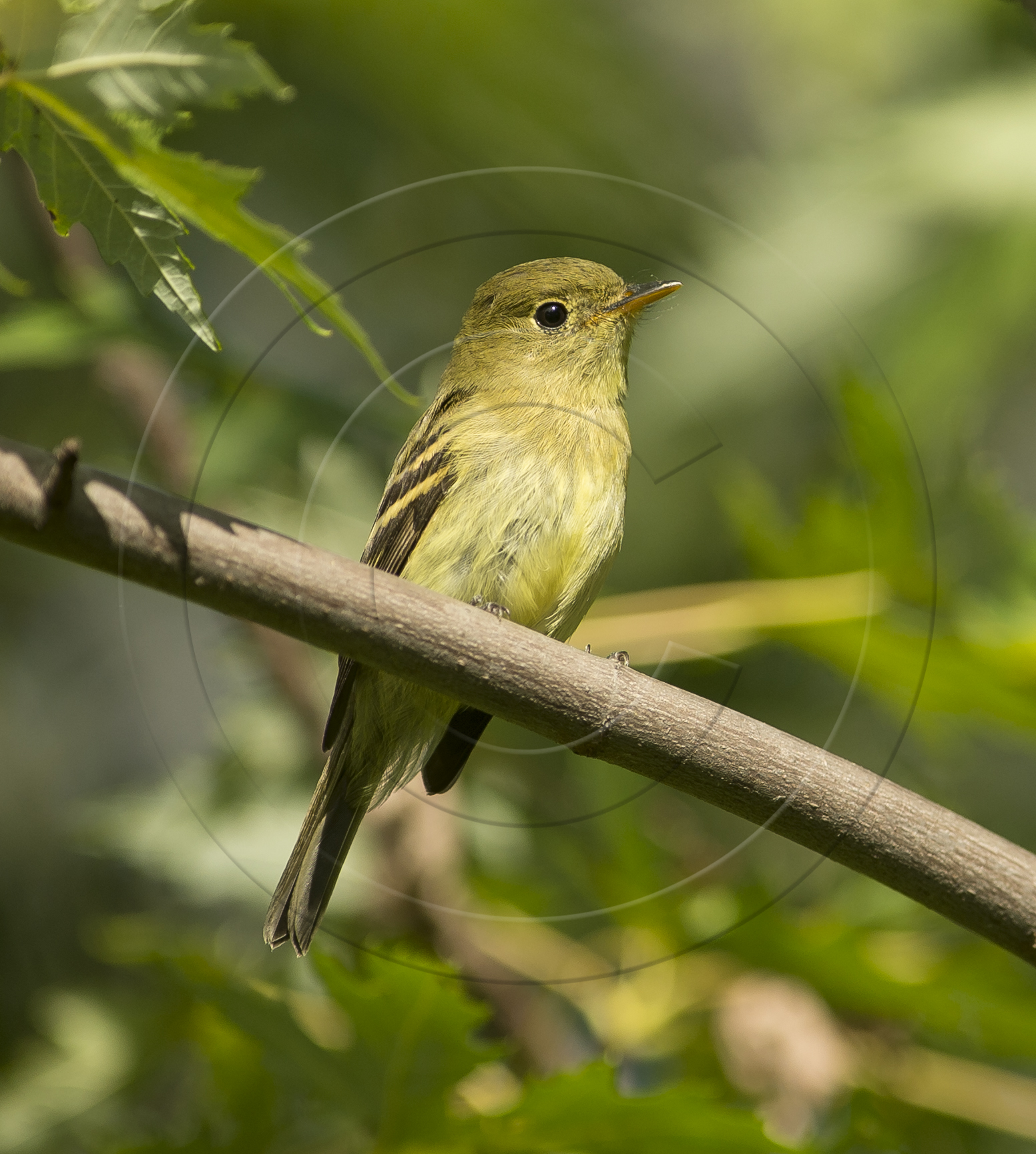Yellow-bellied
