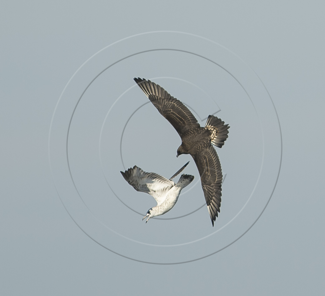 parasitic jaeger WITH GULL