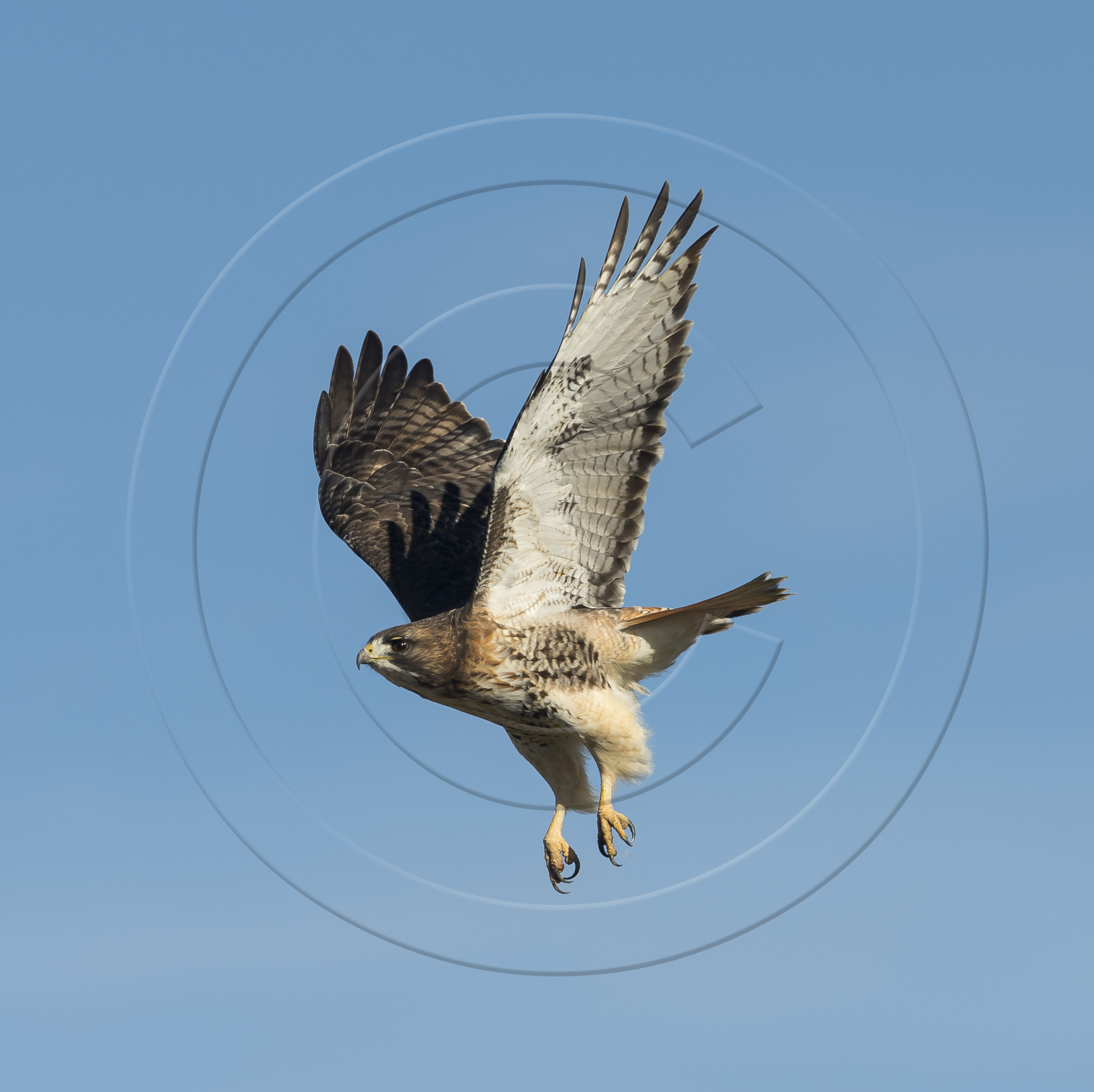 RED-TAILED LAUNCH 3