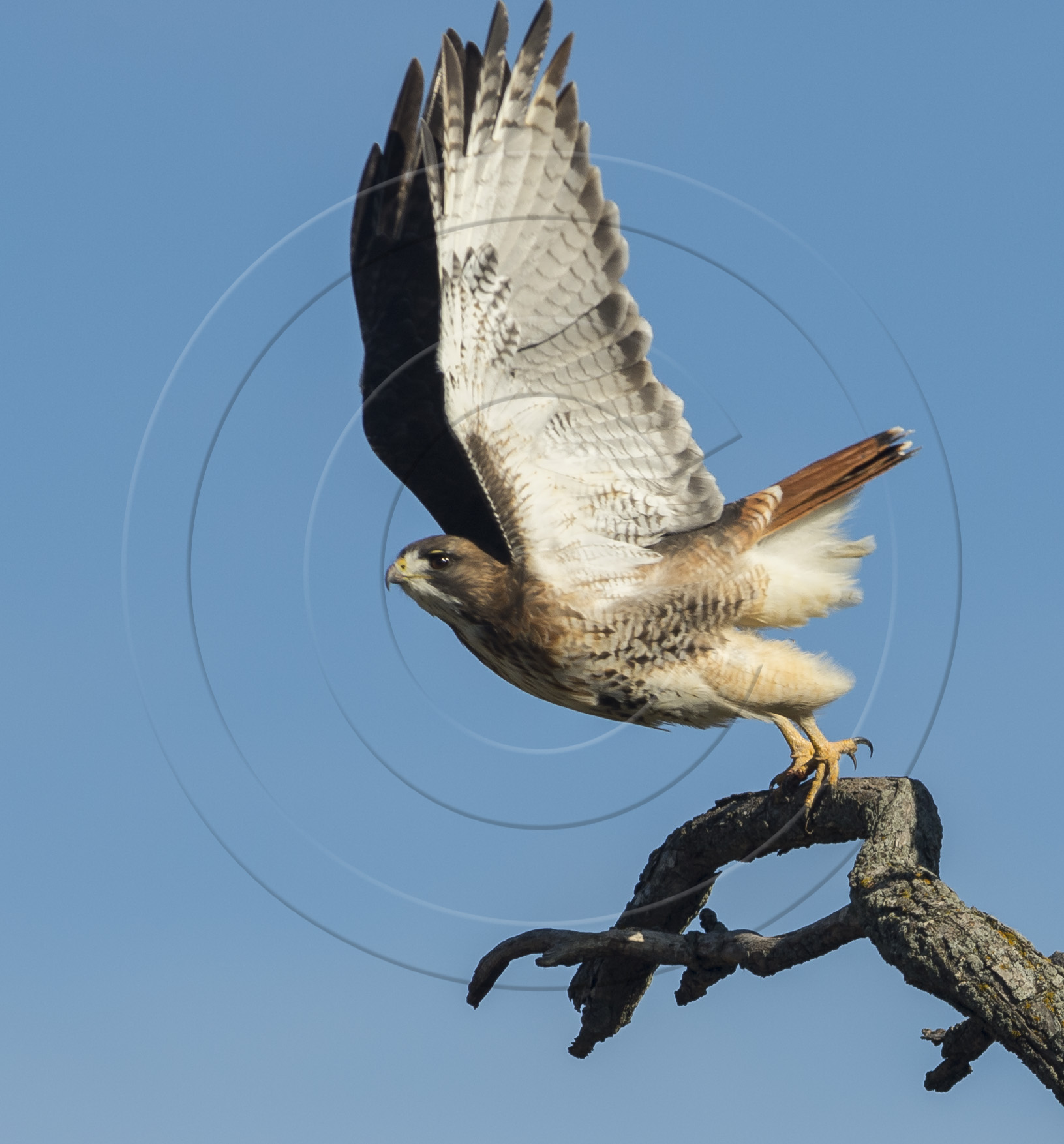 RED-TAILED LAUNCH