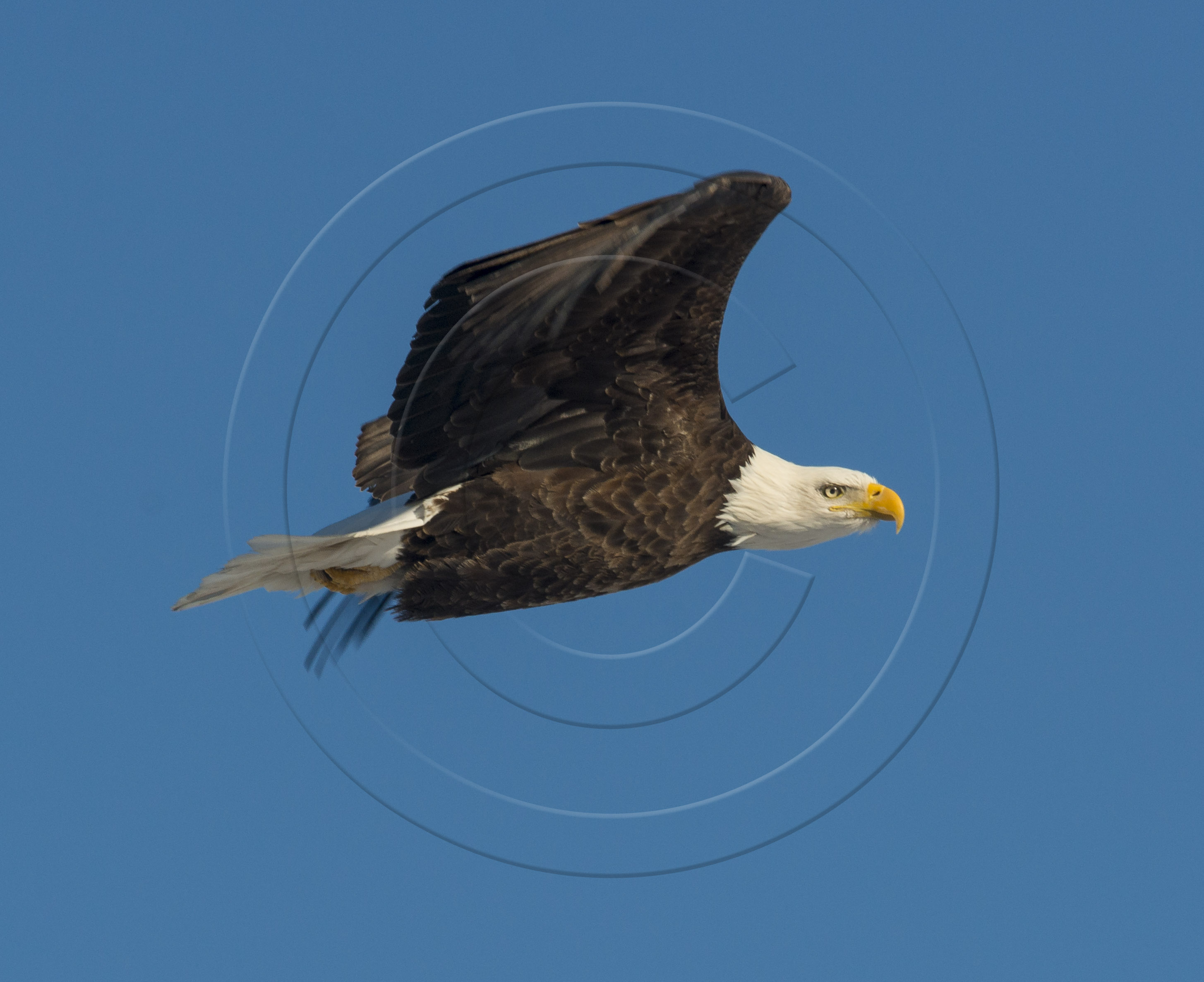 Bald Eagle Flight-2