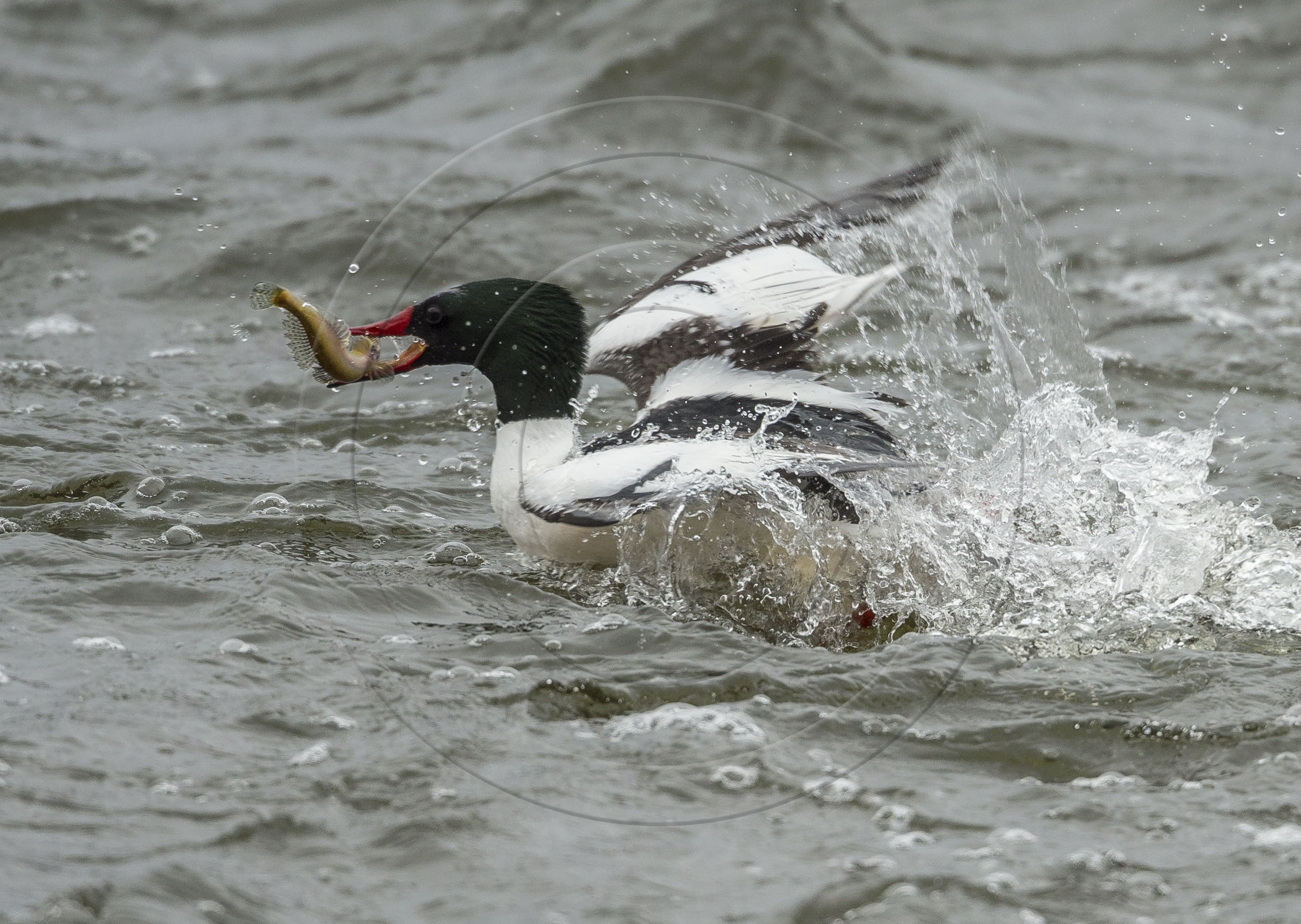 Merganser Fish 1-2