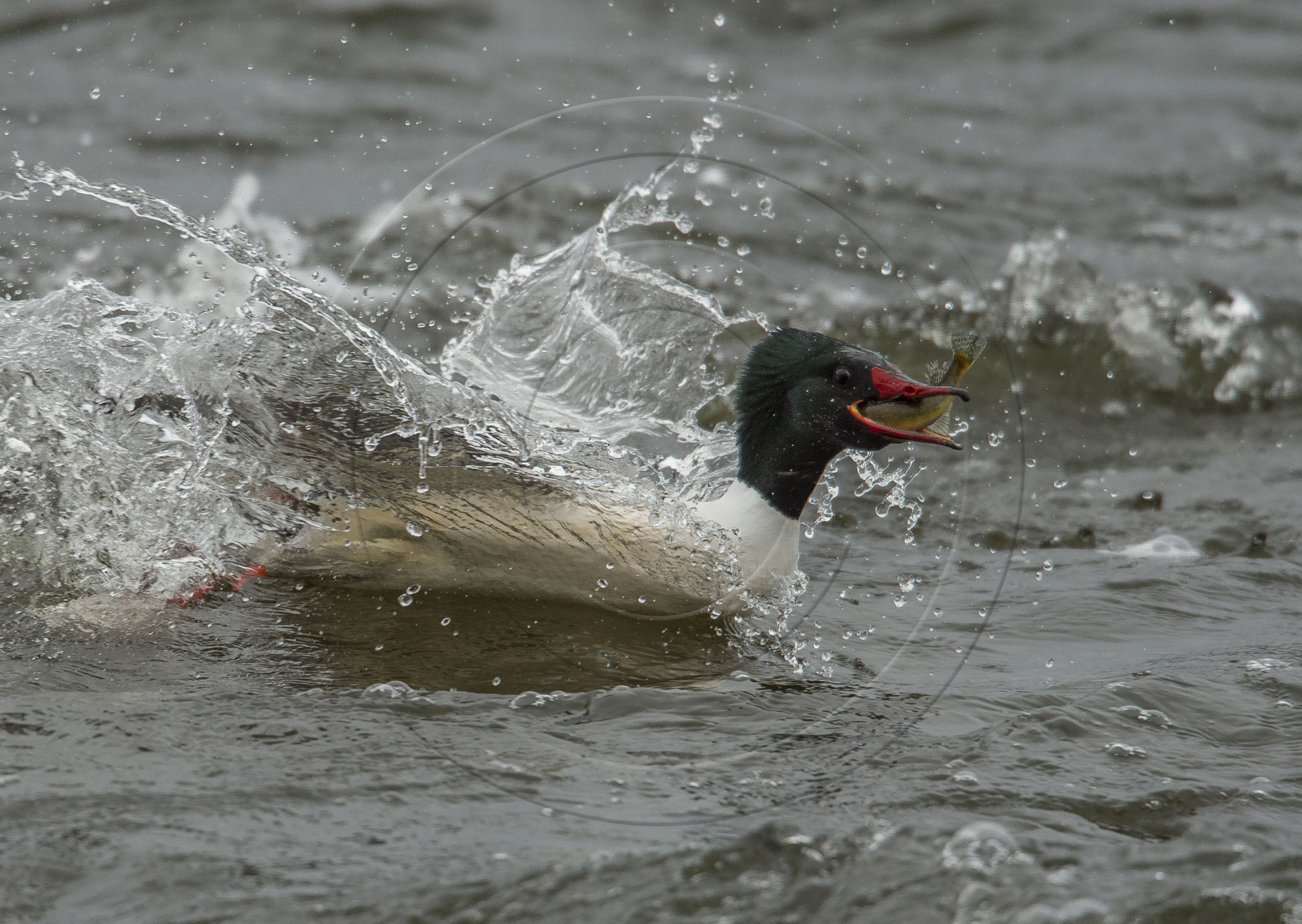 Merganser Fish 2