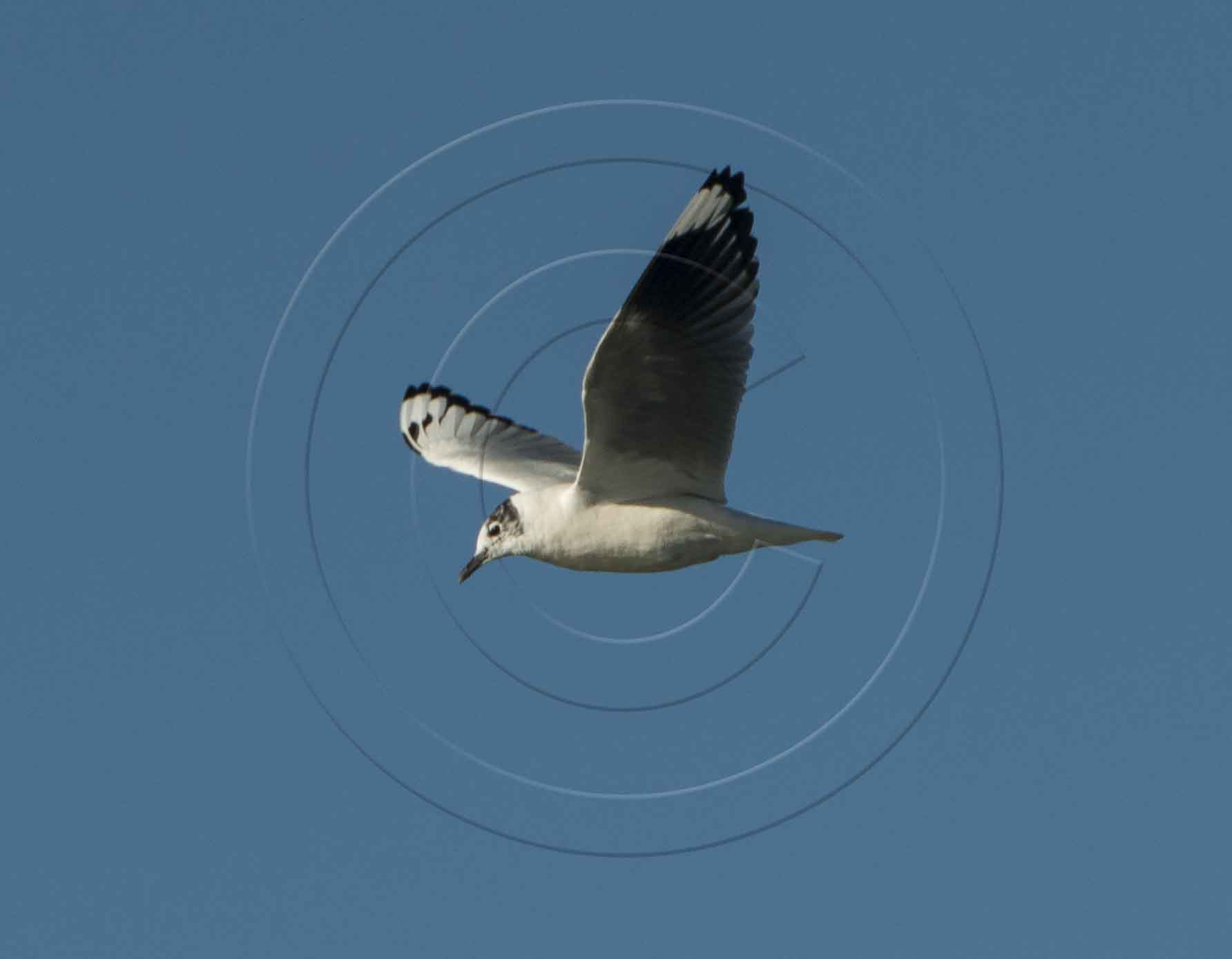 ANDEAN SEAGULL-1