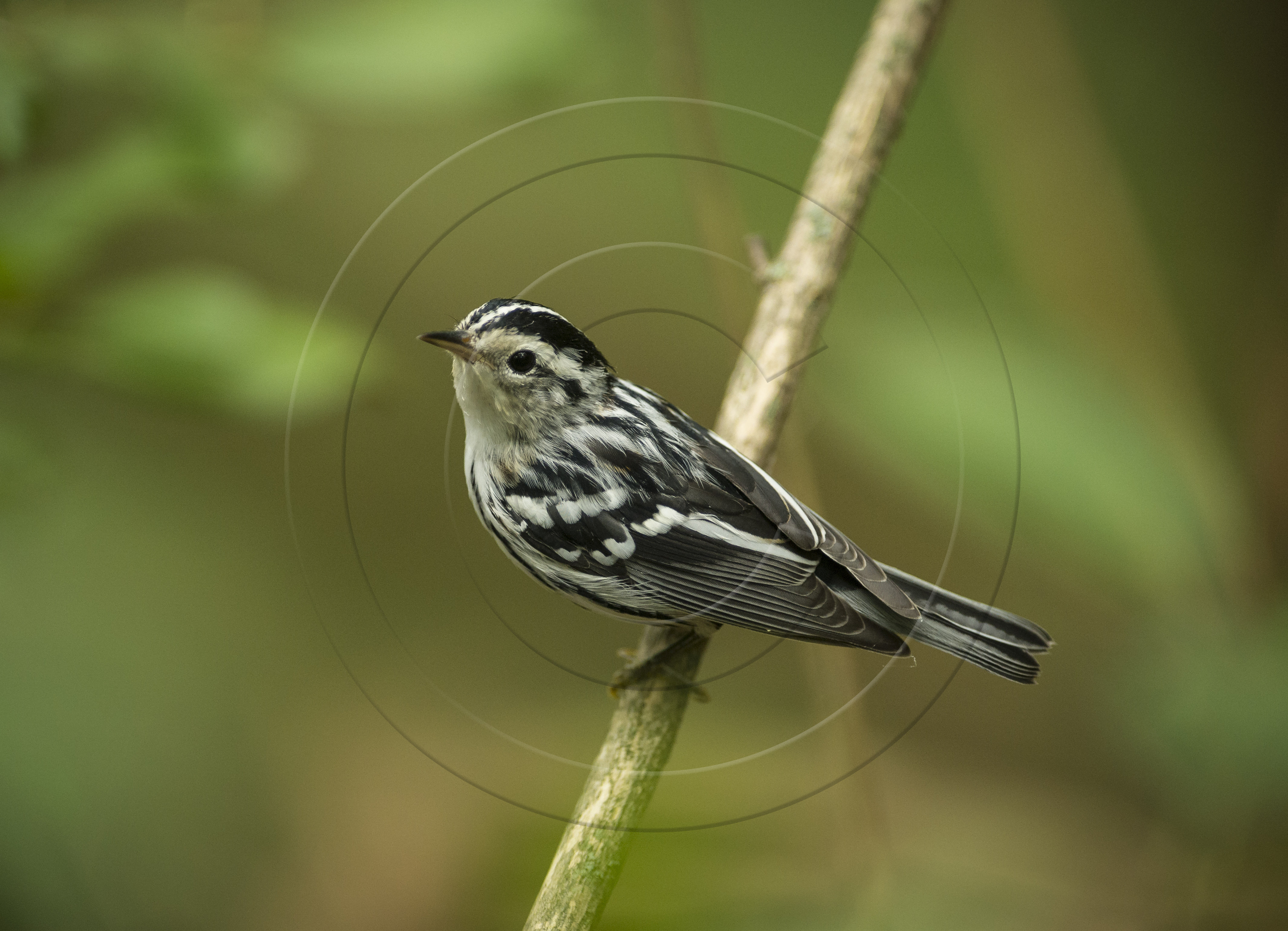 black-and-white-warbler-1