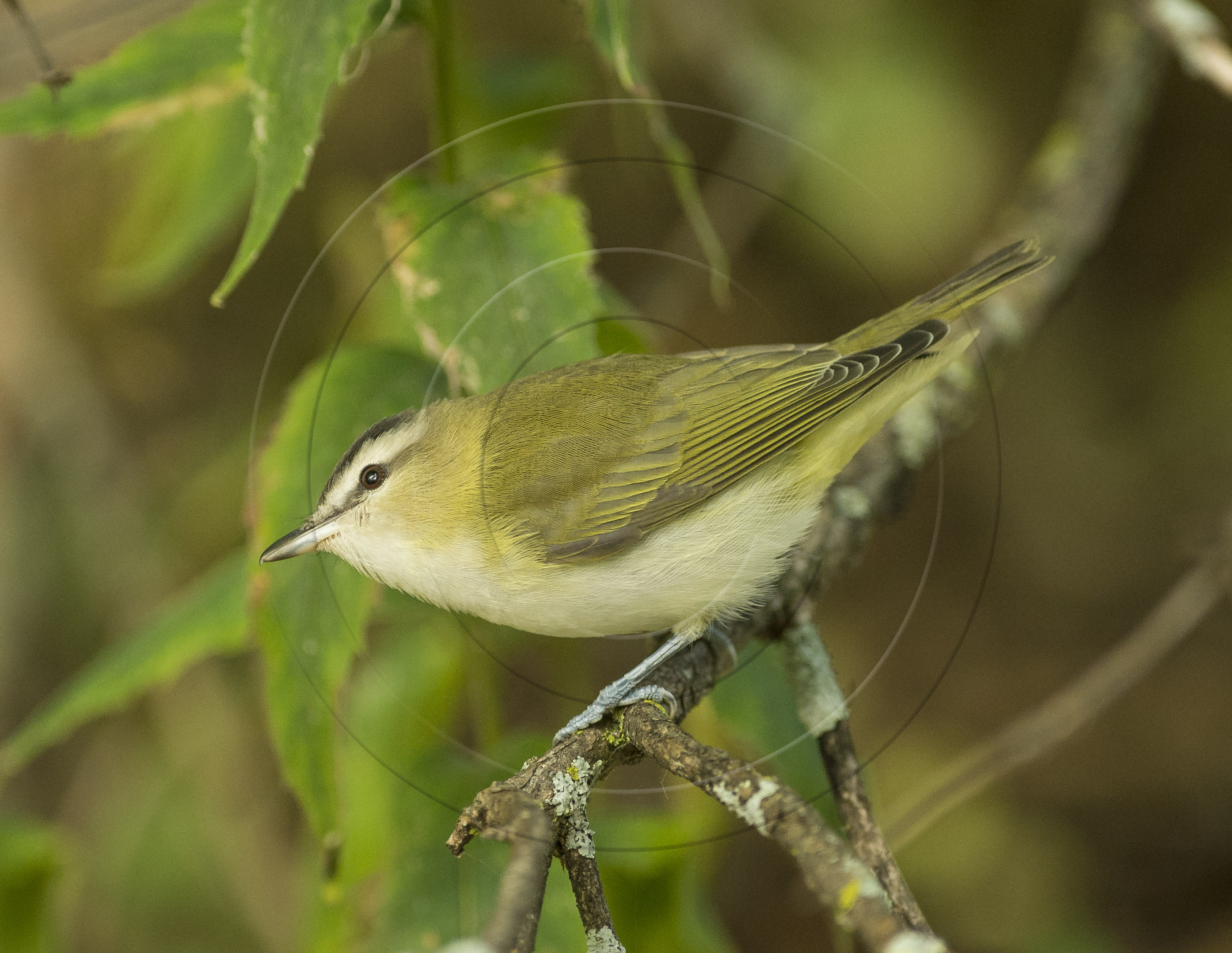red-eyed-vireo-1