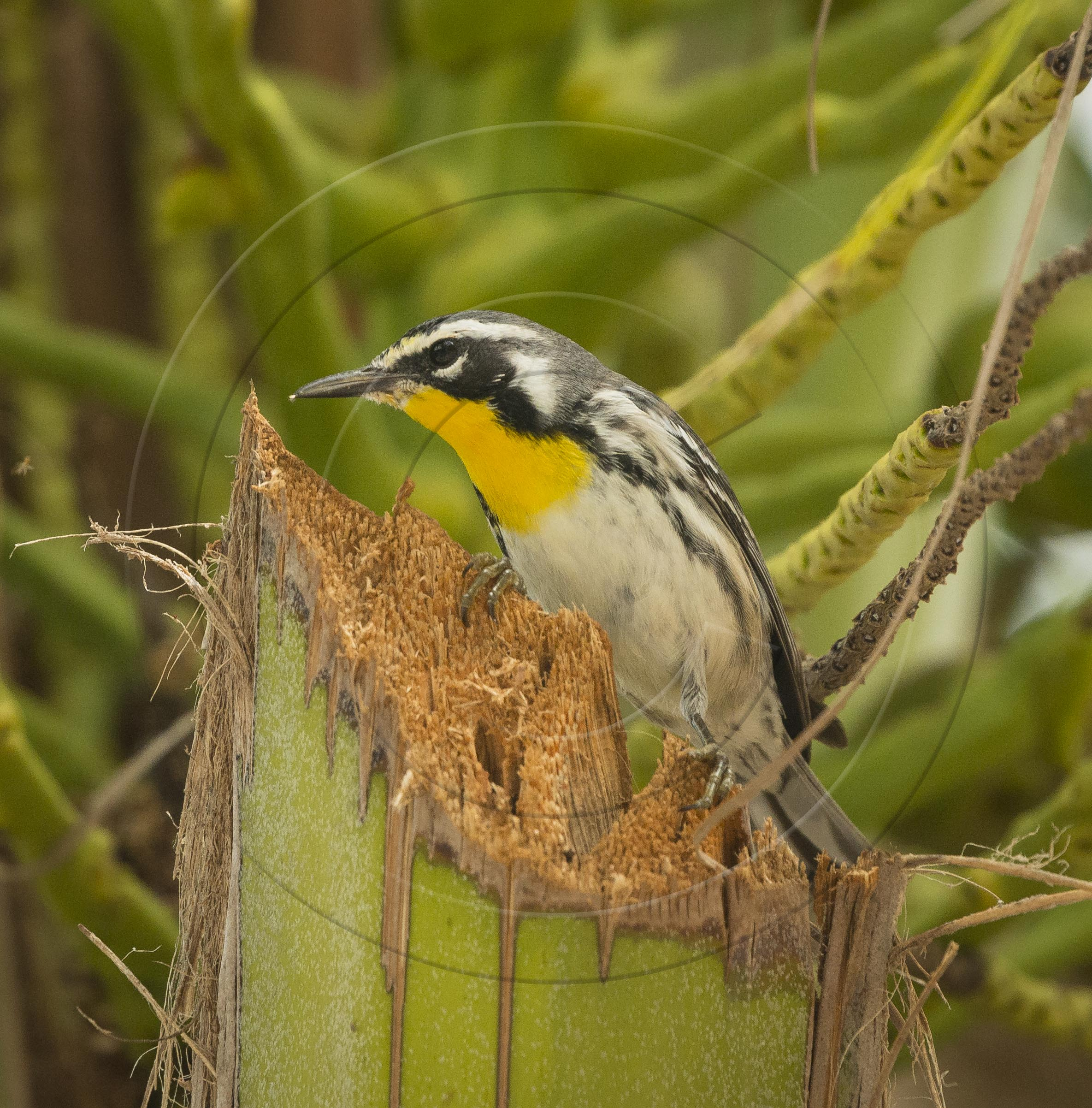 yellow-throated-warbler-1