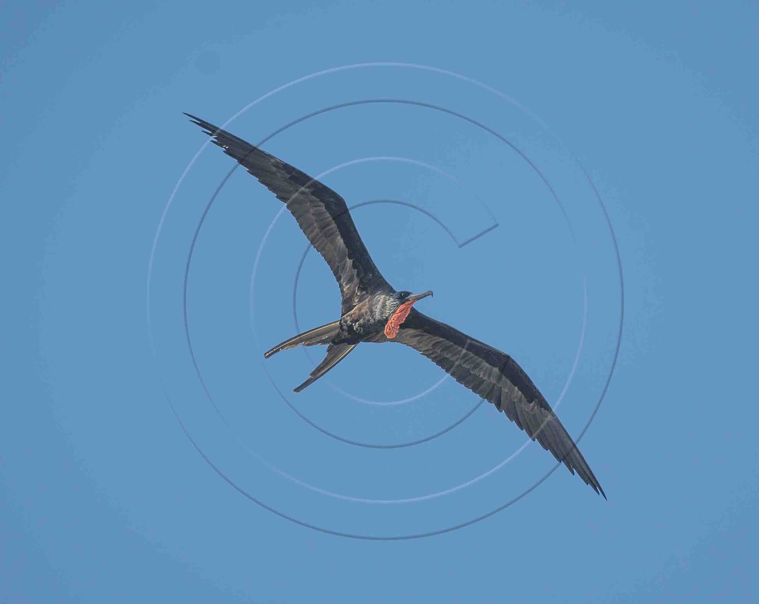 male-frigate-bird-1