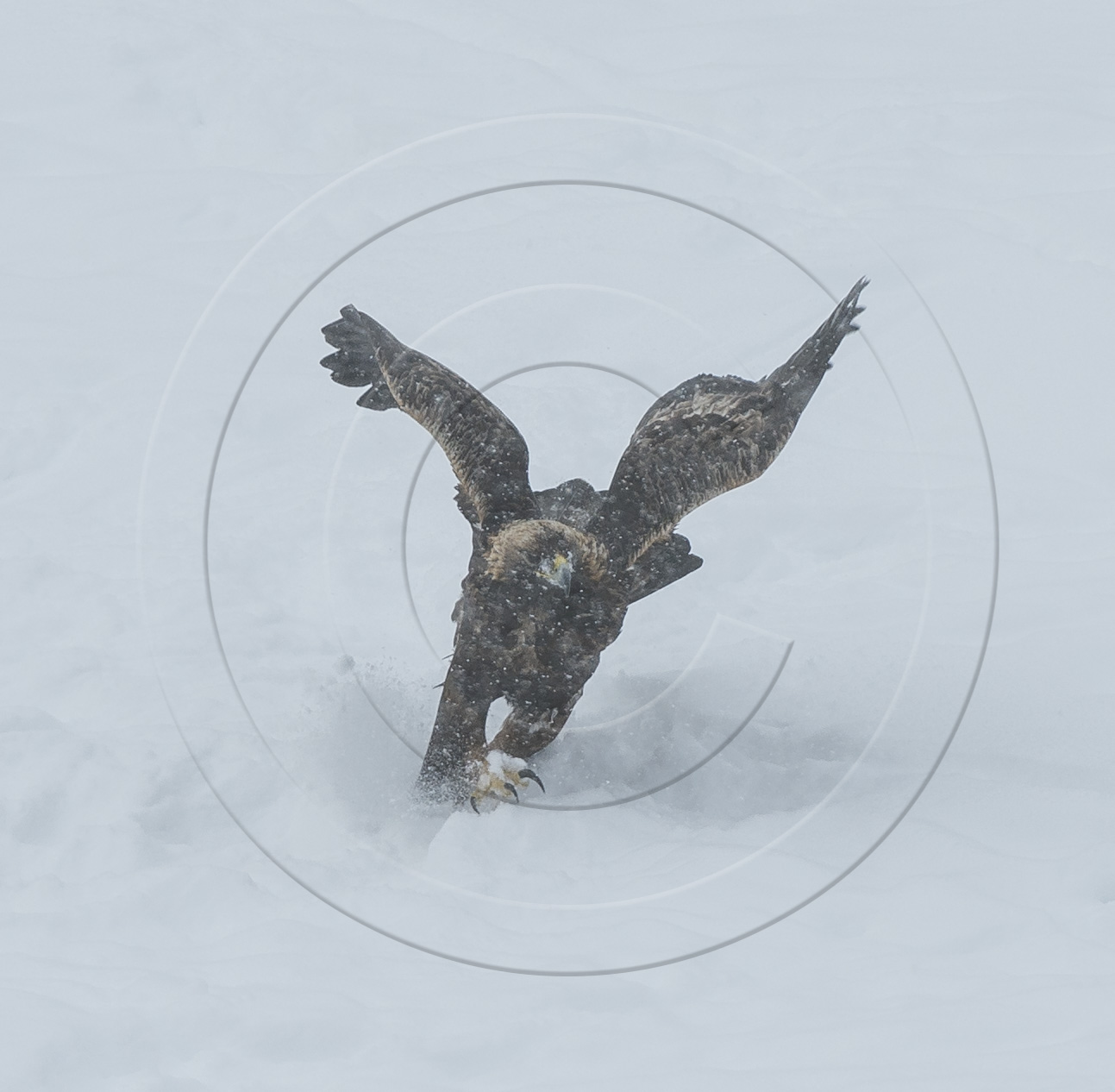 GOLDEN EAGLE FLIGHT LANDING-1