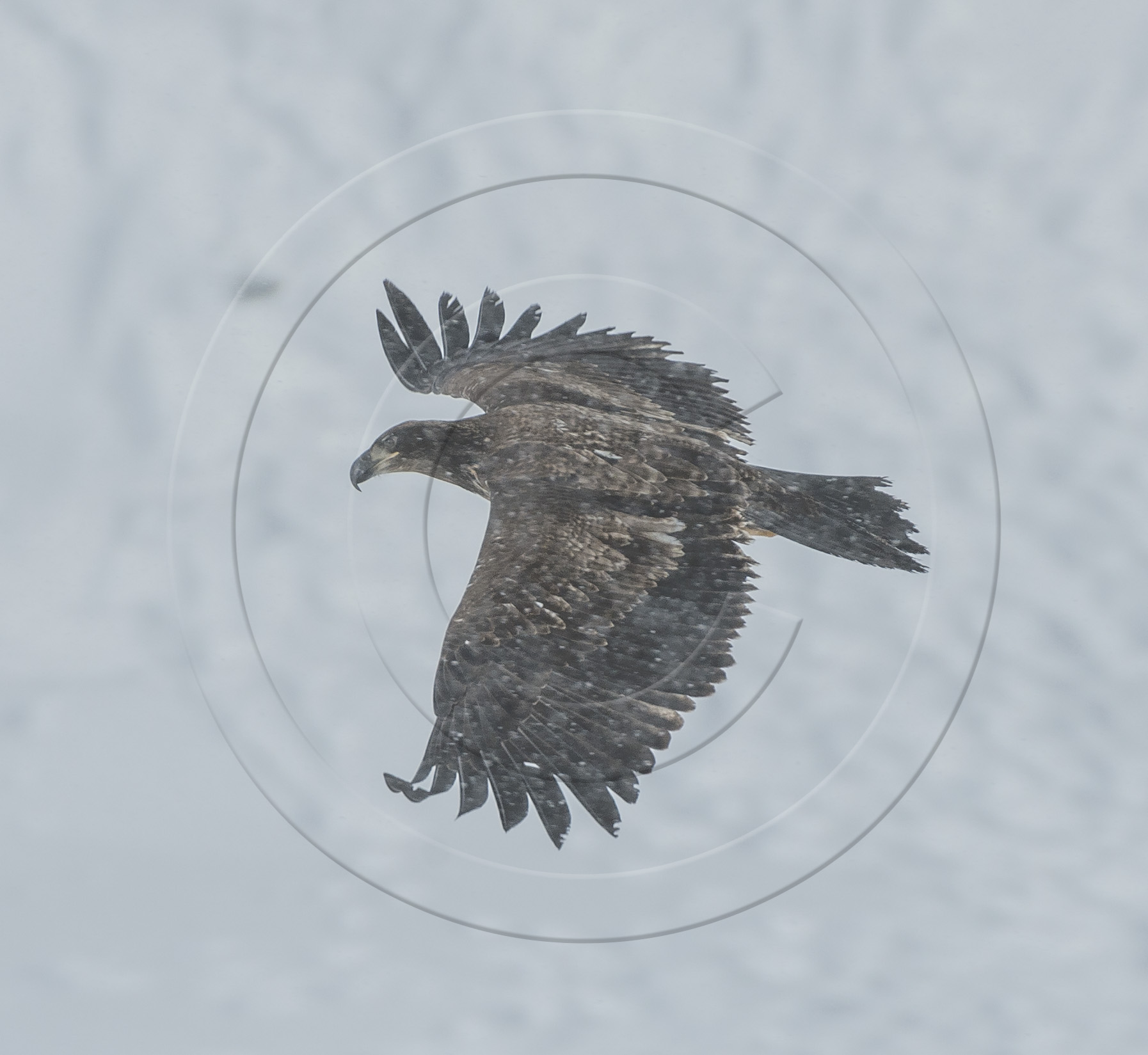 GOLDEN EAGLE FLIGHT WINGSPREAD-1