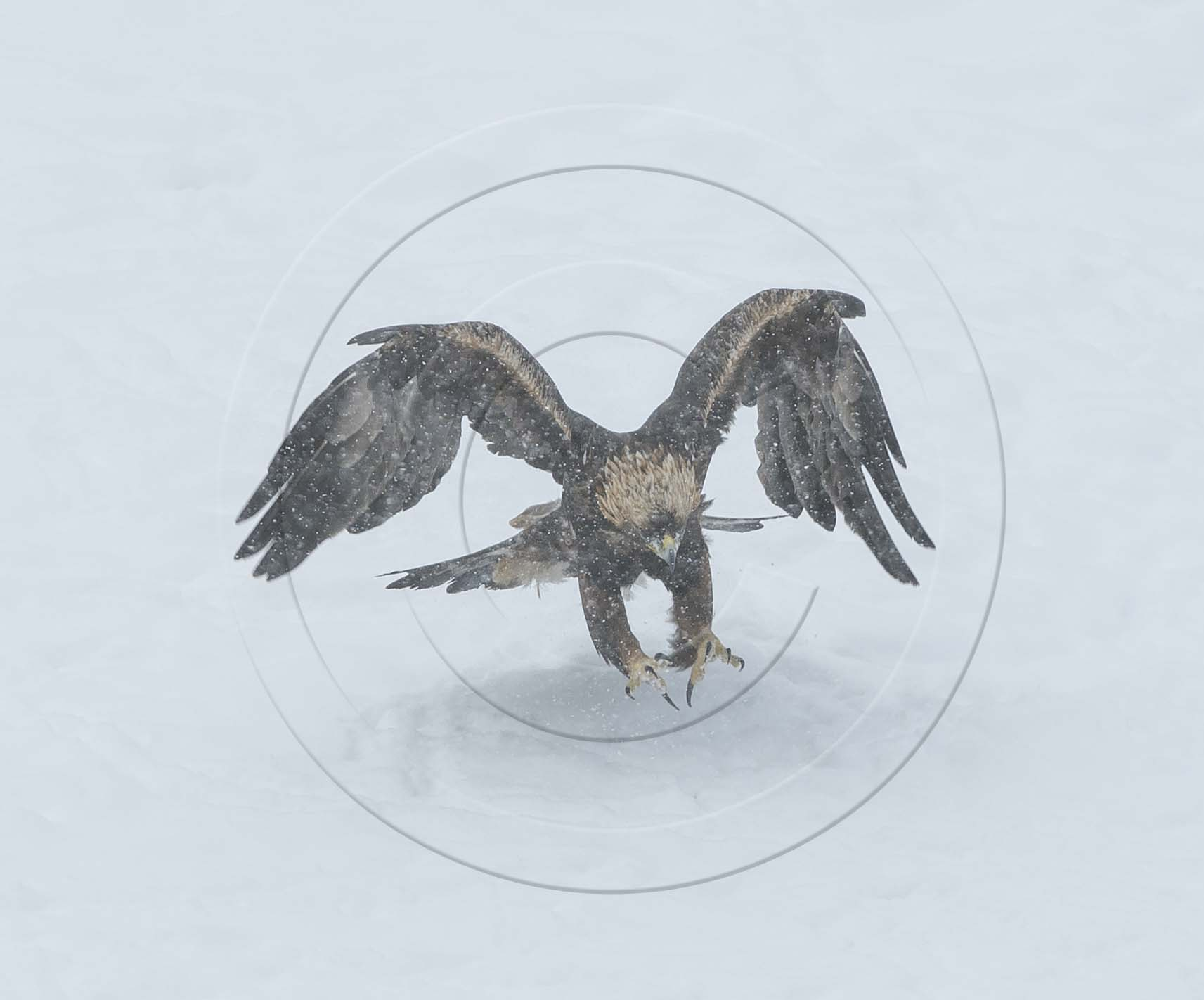 GOLDEN EAGLE WINGSPREAD-1
