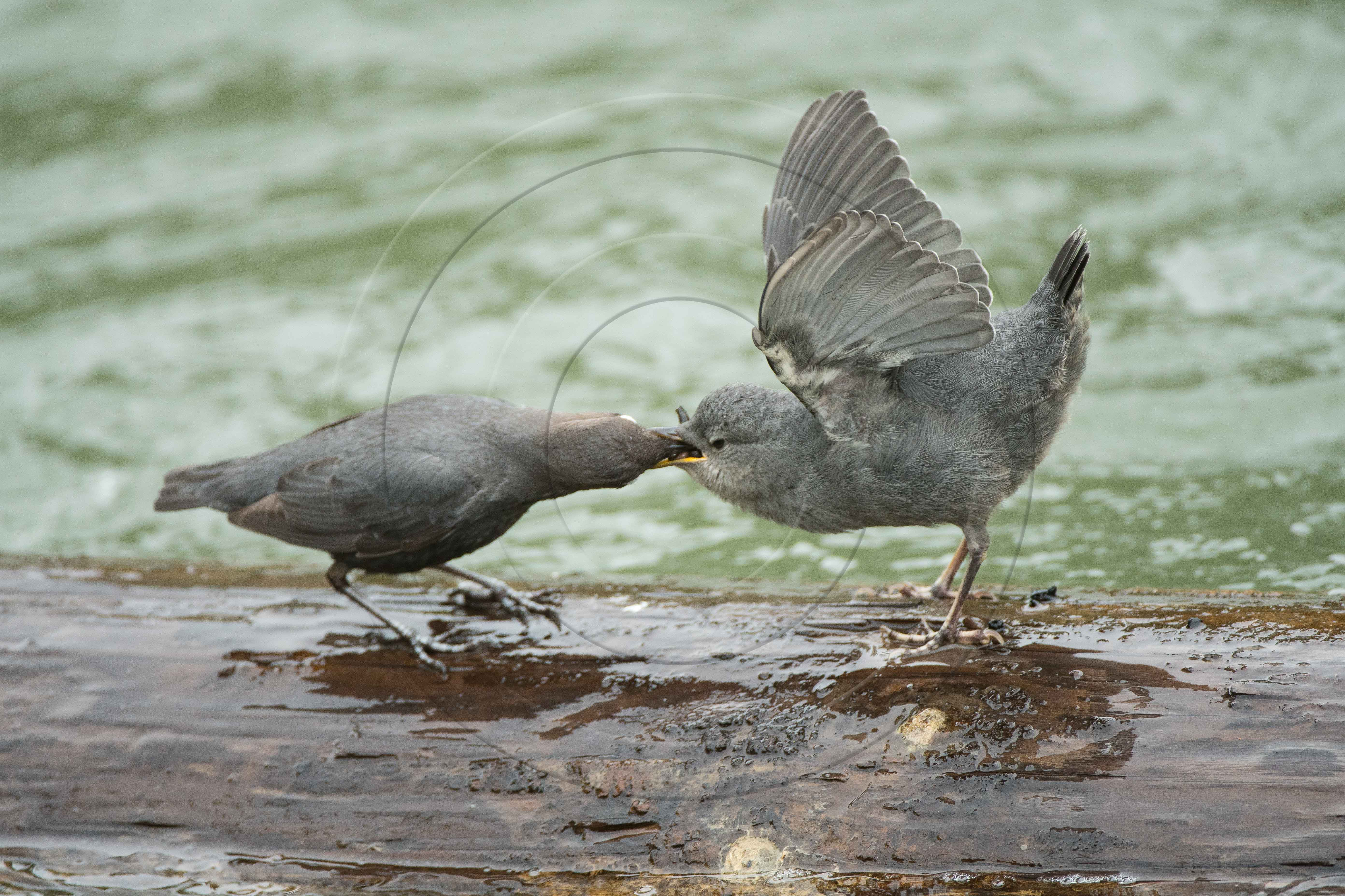 AMERICAN DIPPER FEEDING YOUNG