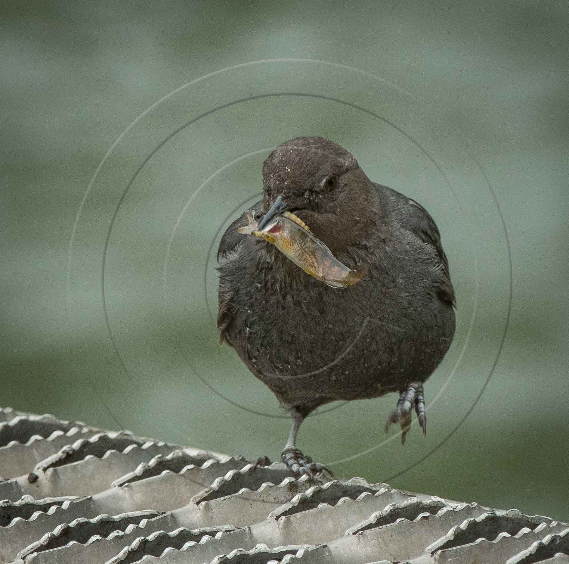 AMERICAN DIPPER WITH FISH