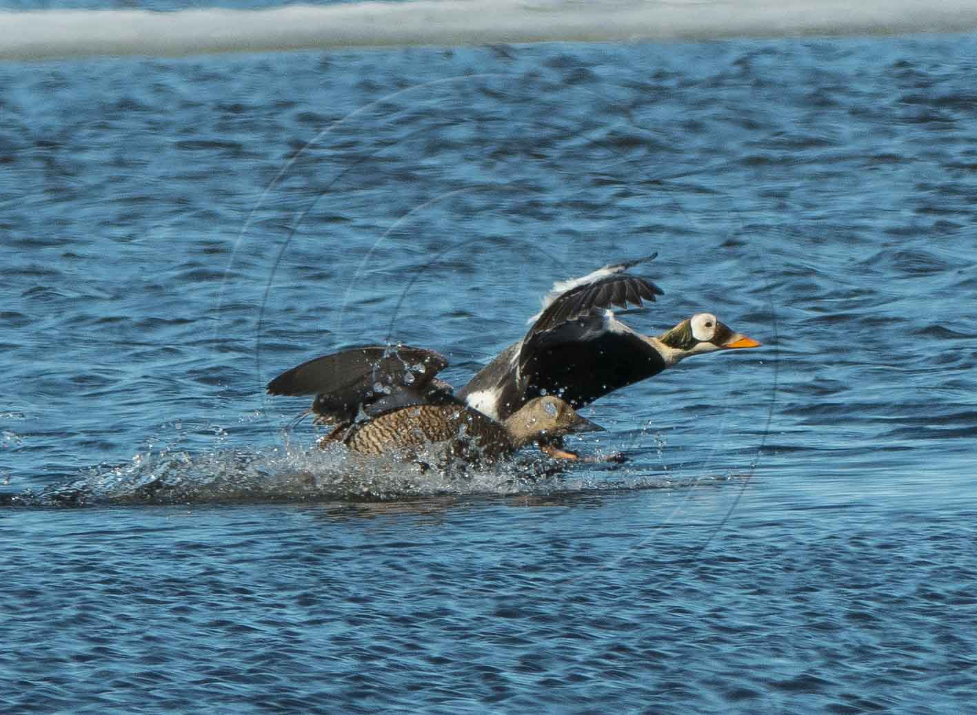 SPECTACLED EIDER PAIR FLIGHT