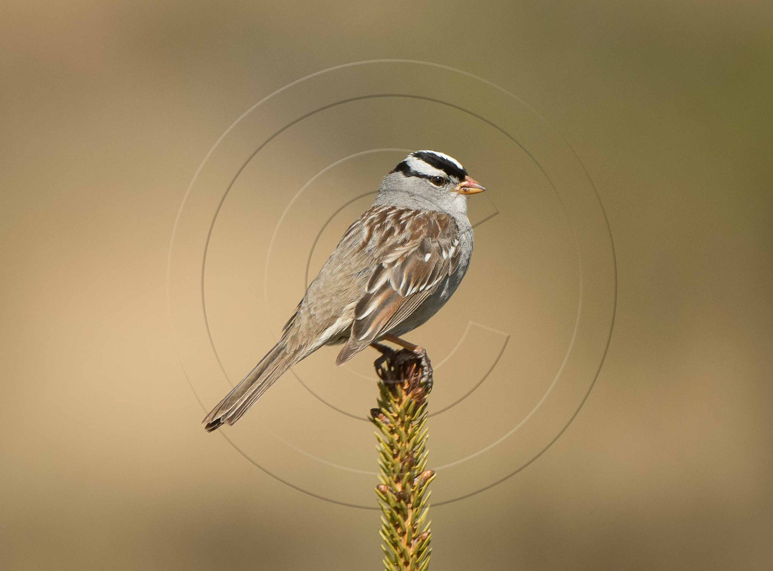 WHITE CROWNED SPARROW (1 of 1)