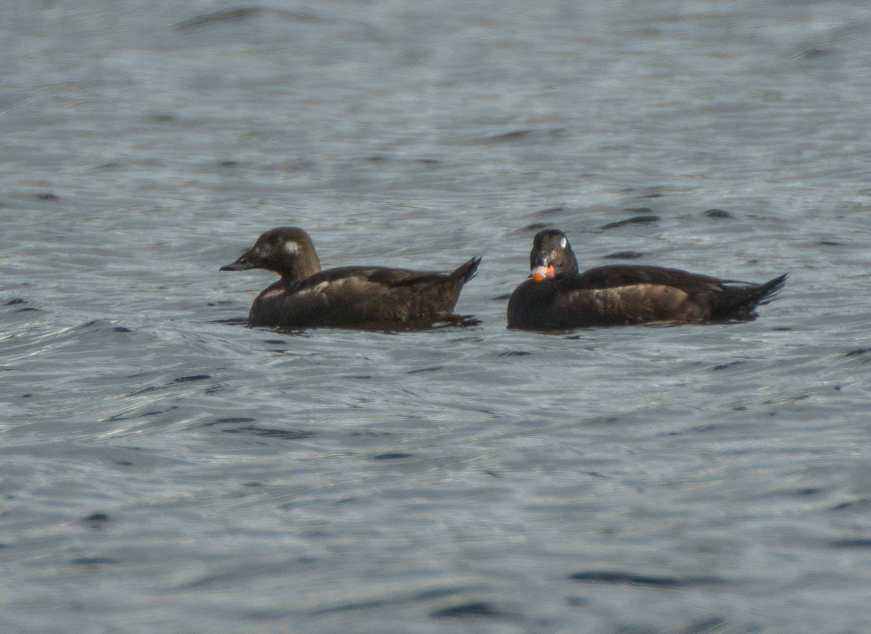 WHITE WINGED SCOTER (1 of 1)