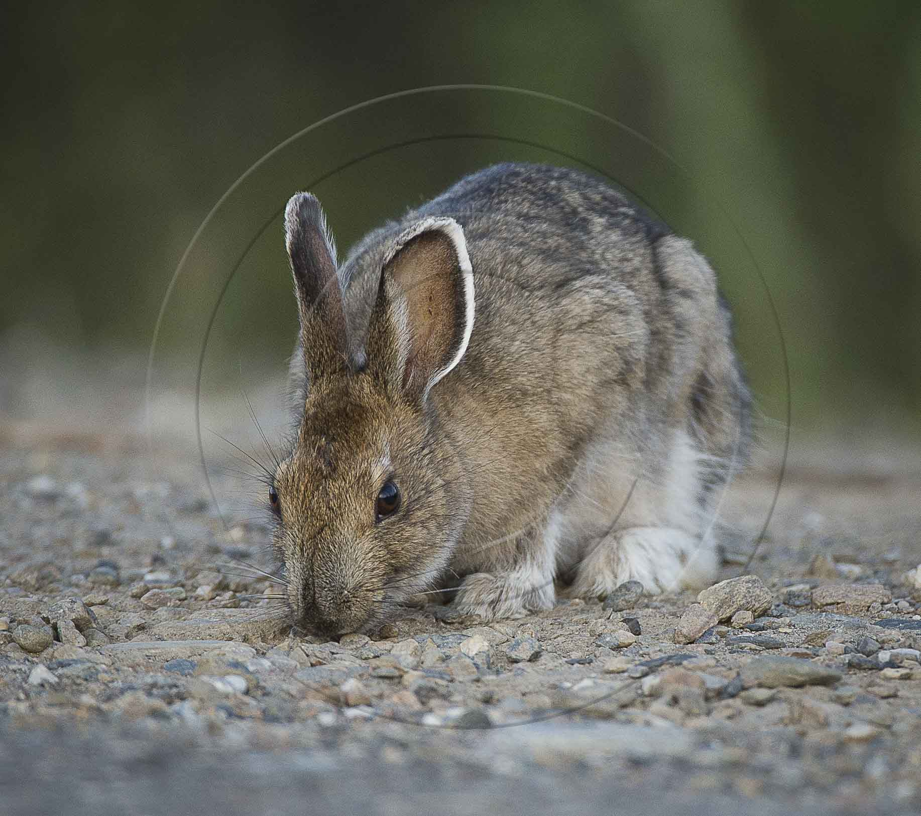 ARCTIC HARE (1 of 1)