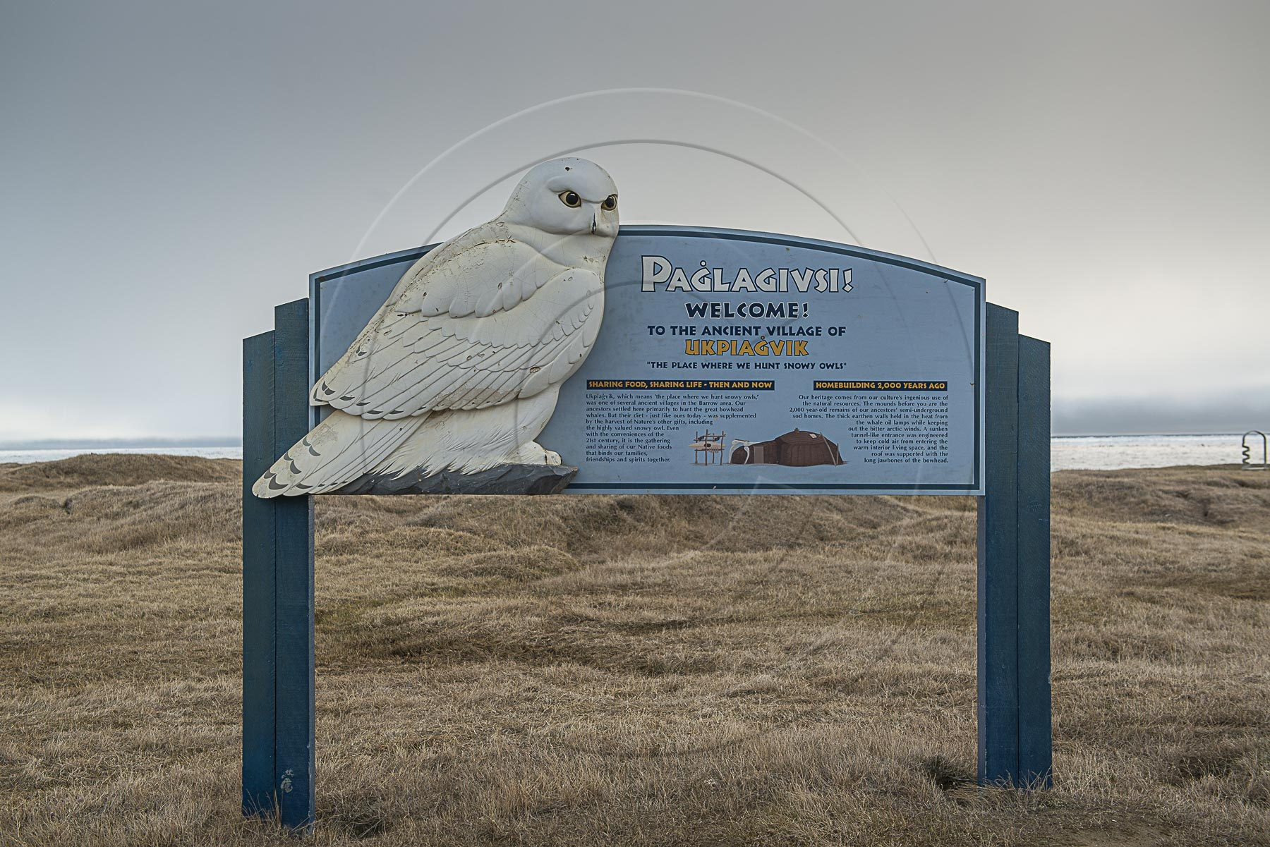 SNOWY OWL (1 of 1)