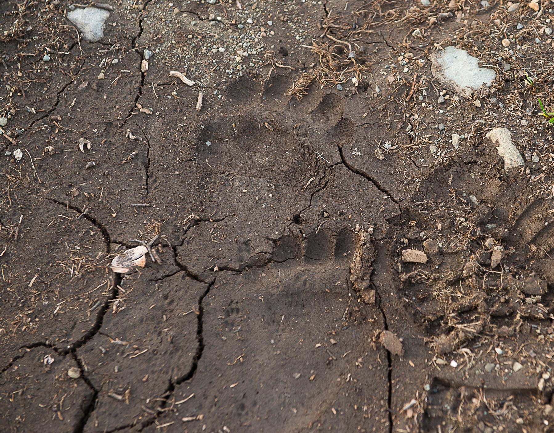 grizzily track