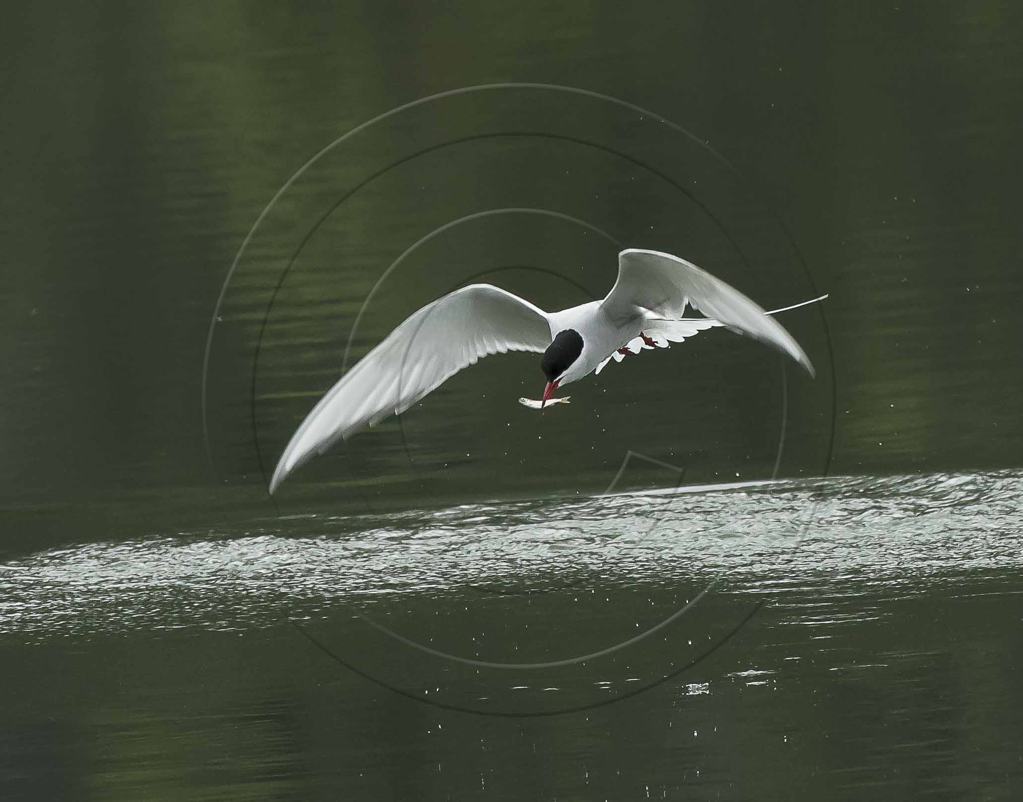 tern fish (1 of 1)