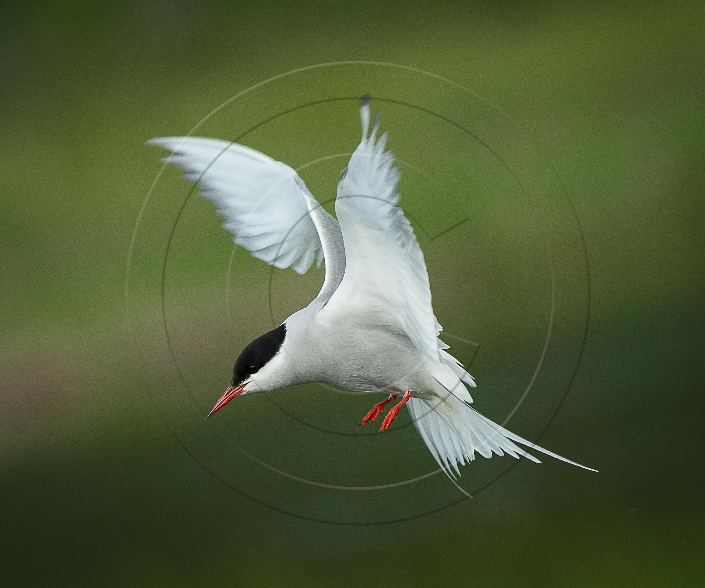 tern flight (1 of 1)