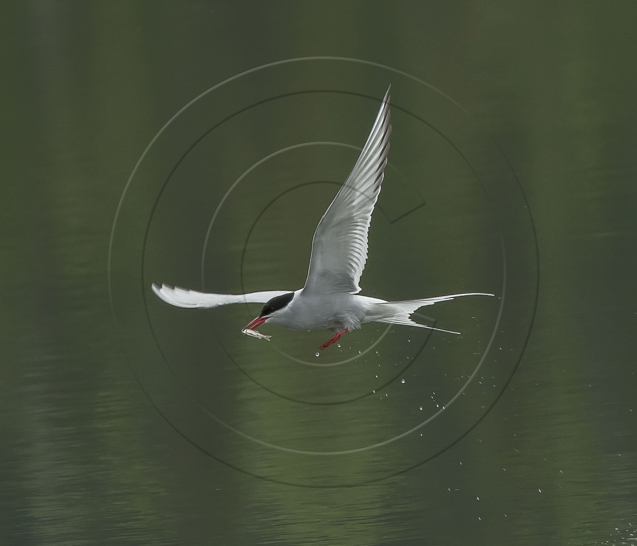 tern minnow (1 of 1)