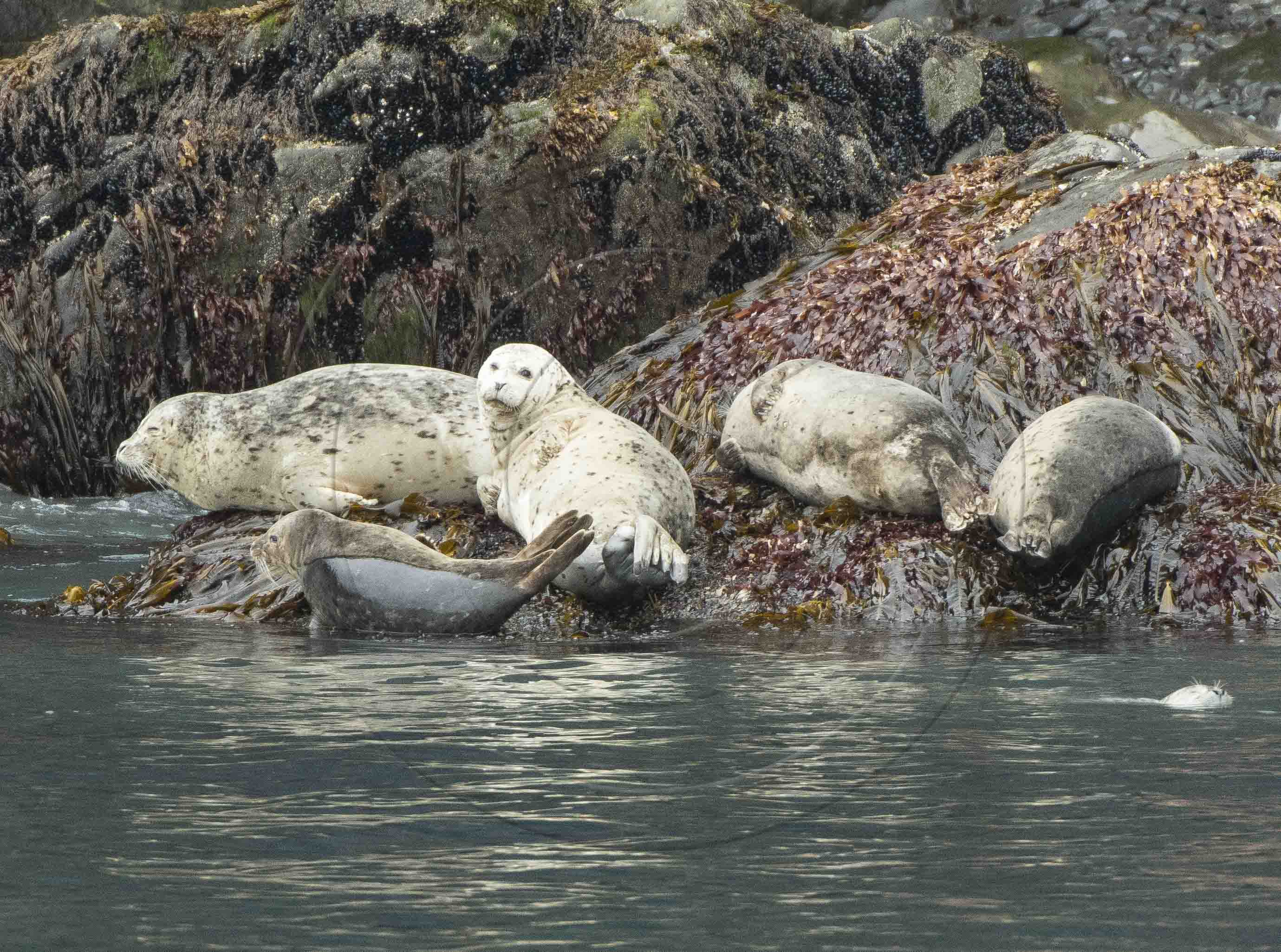 hARBOUR SEAL 2 (1 of 1)